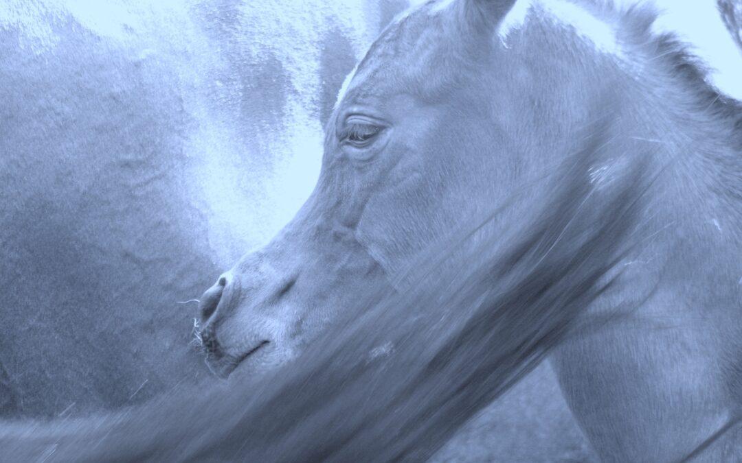 SZJ Arabians, dove nascono Eszjo e Domiszjo…
